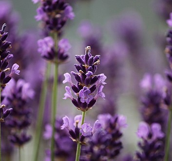 Leafhopper: the problem of lavender producers